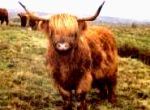 Picture - Arkleside Highland Beef