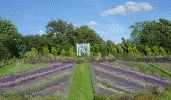 Picture - Yorkshire Lavender & Howardian Herbs